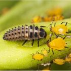 Ladybird Larvae With Release Bag Aphids (Up to 20m)